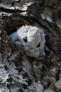 liito-orava kurkistaa puunkolosta